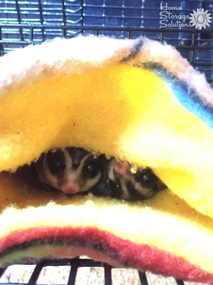 Happy sugar gliders